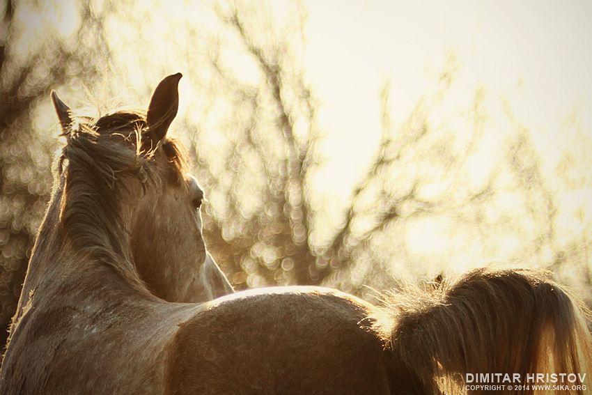 White Horse Portrait on The Sunset Sky photography featured equine photography animals  Photo