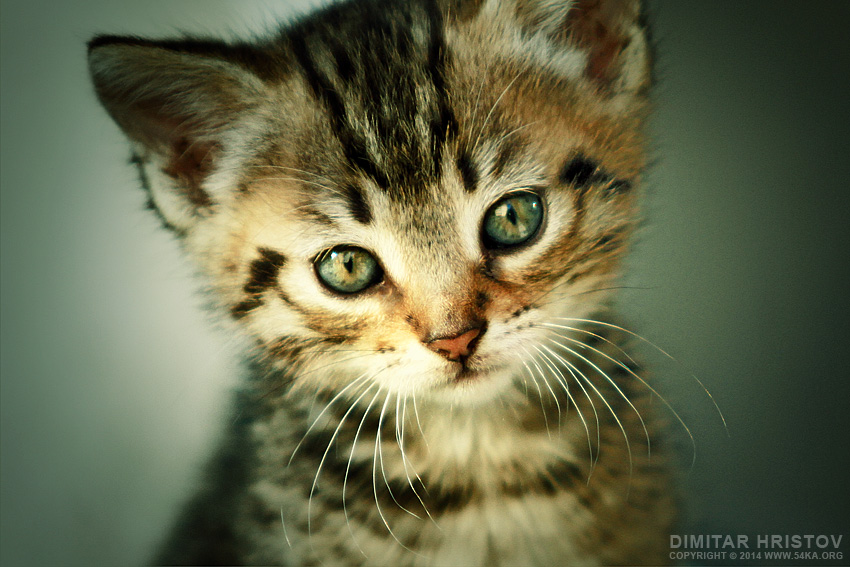 Cute kitten with big mustache photography animals  Photo