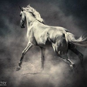 White Horse in Dust – Equestrian Beauty