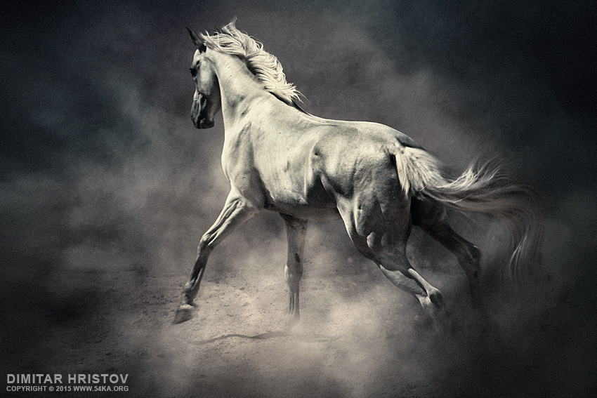 White Horse in Dust   Equestrian Beauty photography photomanipulation featured equine photography black and white animals  Photo