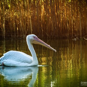 Pelican Swim in The Lake