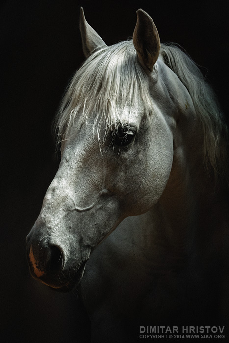 White horse portrait   Horse head photography featured equine photography animals  Photo