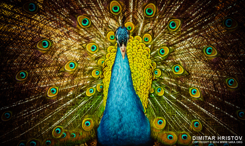 Beautiful Colorful Peacock photography featured animals  Photo