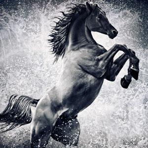 The Black Stallion – Arabian horse reared up