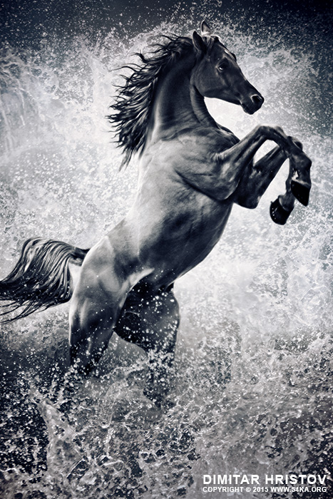 The Black Stallion   Arabian horse reared up photography photomanipulation featured equine photography black and white animals  Photo