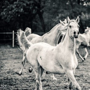 Galloping white horses