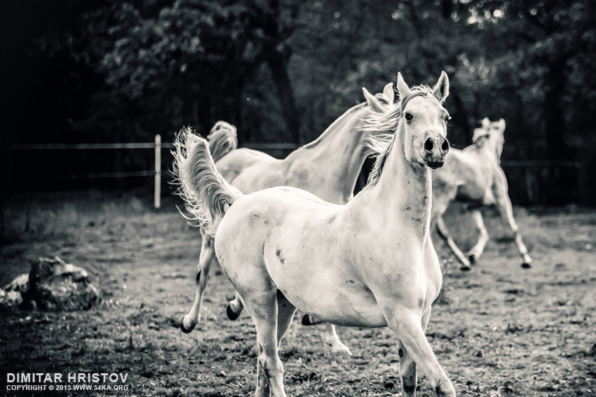 Galloping white horses photography featured equine photography black and white animals  Photo