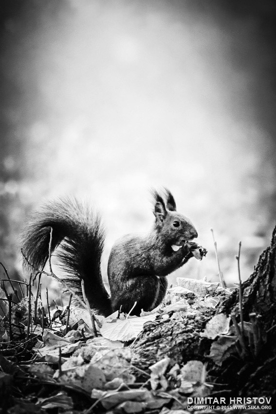 Red squirrel with nut photography featured black and white animals  Photo