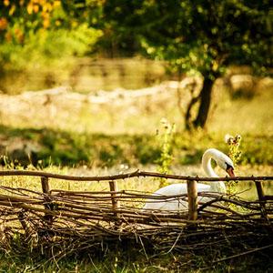 Swan in the garden