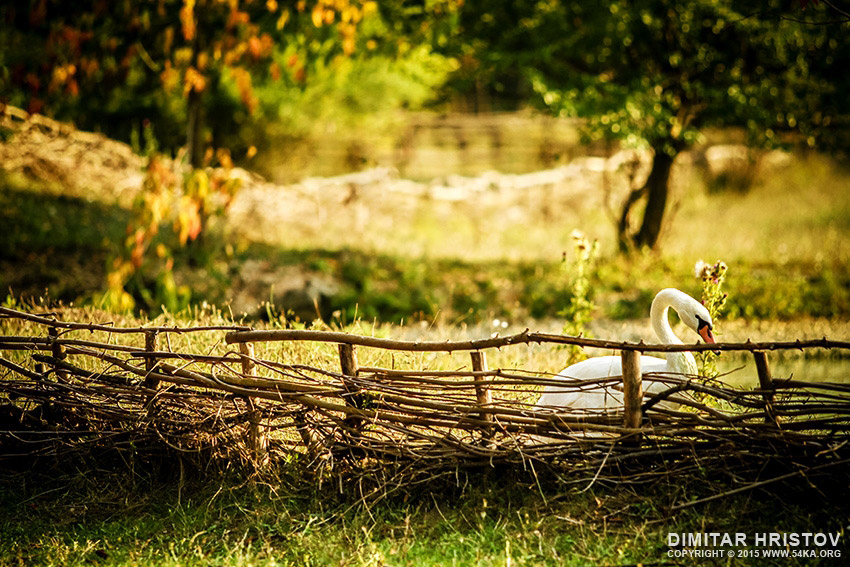 Swan in the garden photography animals  Photo