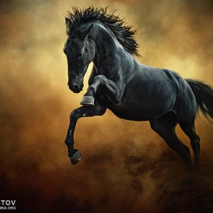 The Black Stallion in Dust