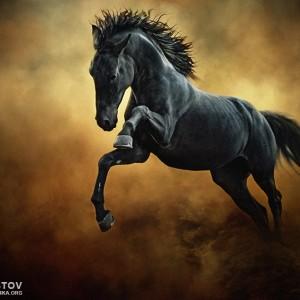 The Black Stallion in Dust