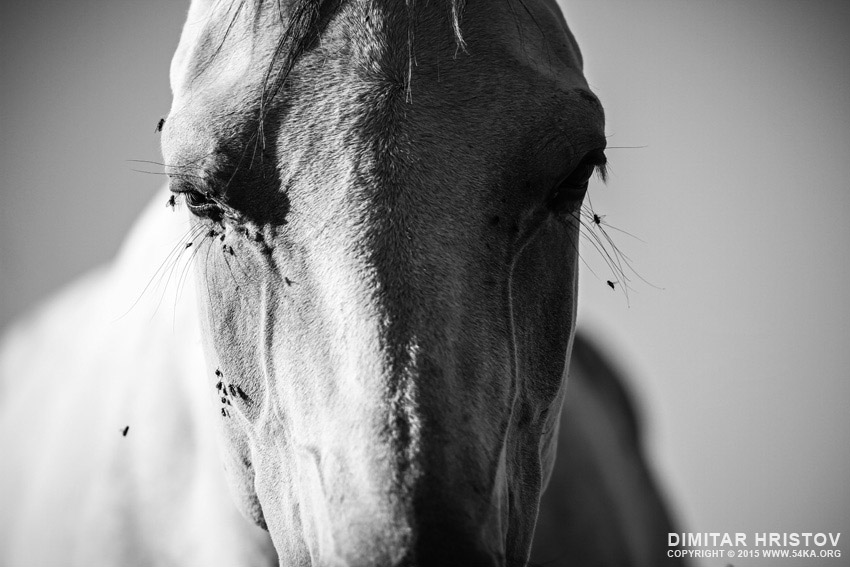 White horse stallion portrait photography equine photography daily dose black and white animals  Photo