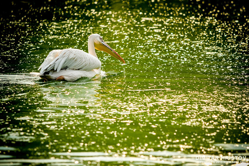 White pelican photography animals  Photo