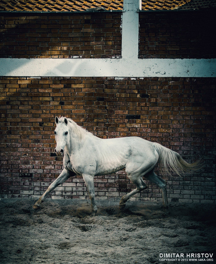 Arab white horse in paddock photography equine photography animals  Photo