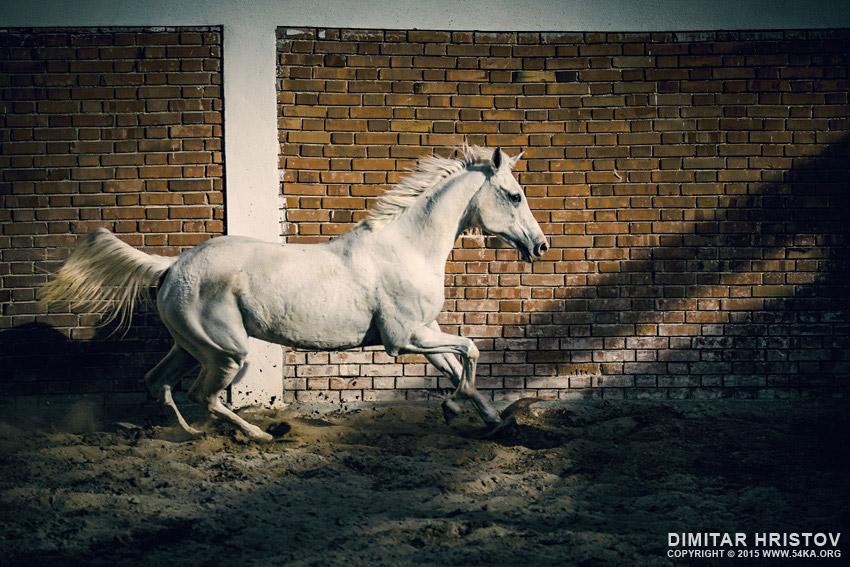Beautiful arabian white horse photography equine photography animals  Photo