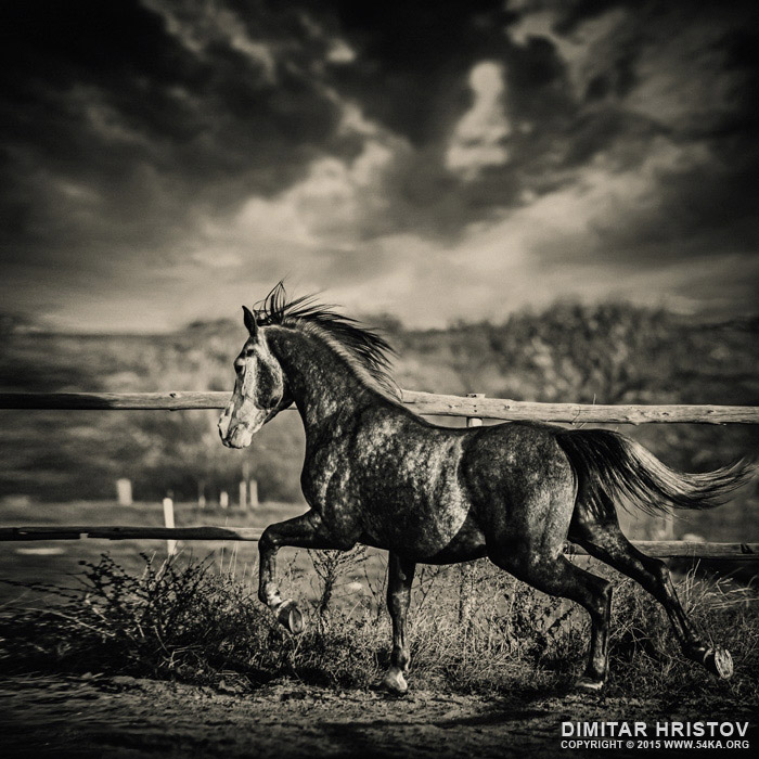 Beautiful stallion running photography featured equine photography black and white animals  Photo