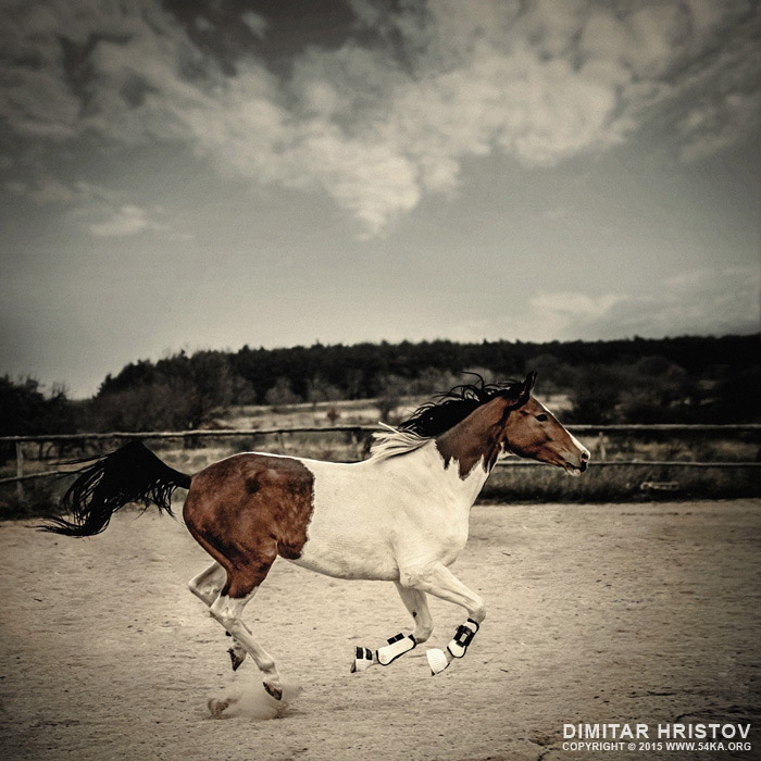Galloping Paint Horse photography featured equine photography animals  Photo