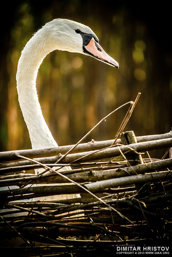 Swan head photography daily dose animals  Photo