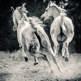 Two white horses galloping