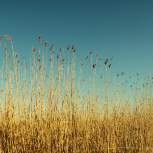 Dry reeds on the lake – vintage