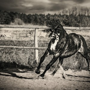 Purebred arabian horse in the ranch