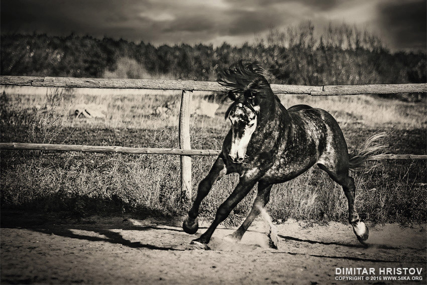 Purebred arabian horse in the ranch photography featured equine photography black and white animals  Photo