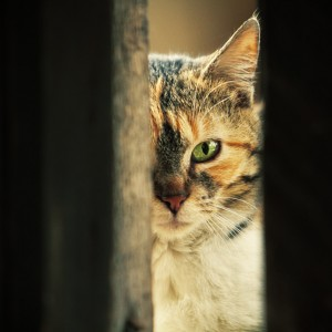 Green eye cat – Close up portrait