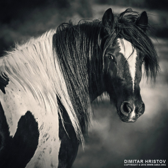 Tinker Horse Portrait photography equine photography black and white animals  Photo