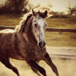 Gray horse mustang – horse galloping