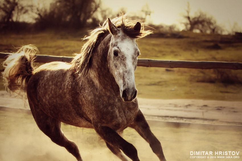 Gray horse mustang   horse galloping photography equine photography animals  Photo