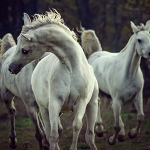 Three white horses – running stallions
