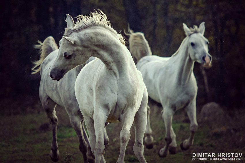 Three white horses   running stallions photography featured equine photography animals  Photo