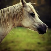 White arabian horse head