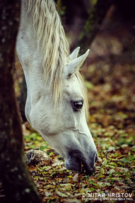 White Horse Resting On Spring Meadow photography featured equine photography animals  Photo