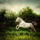 Beautiful white horse jump on the green forest background