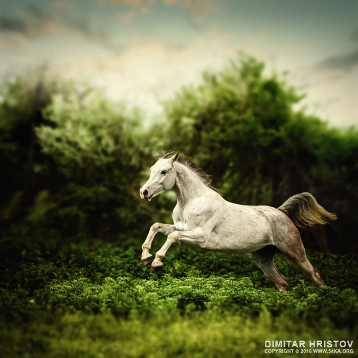 Beautiful white horse jump on the green forest background photography featured equine photography animals  Photo