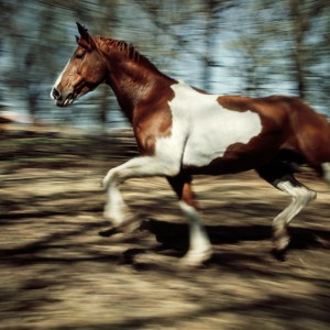 Paint horse running in the forest