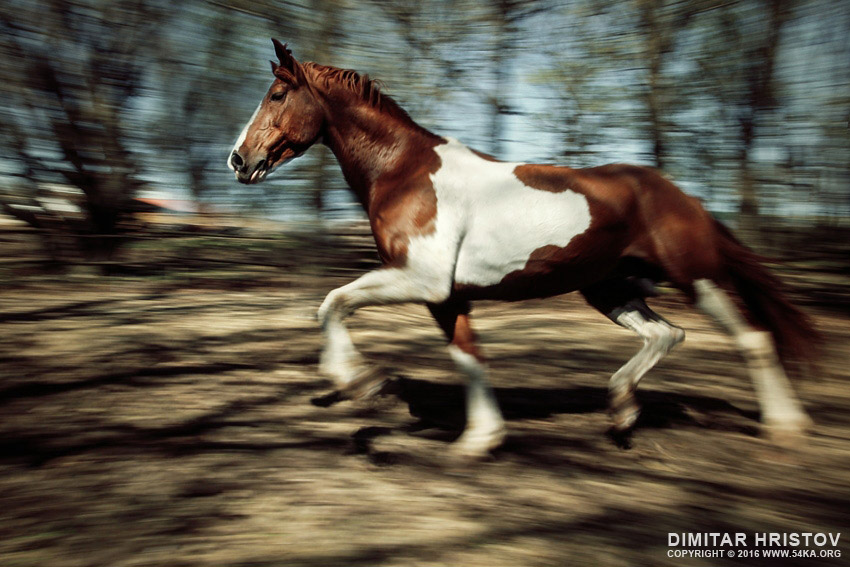 Paint horse running in the forest photography featured equine photography animals  Photo