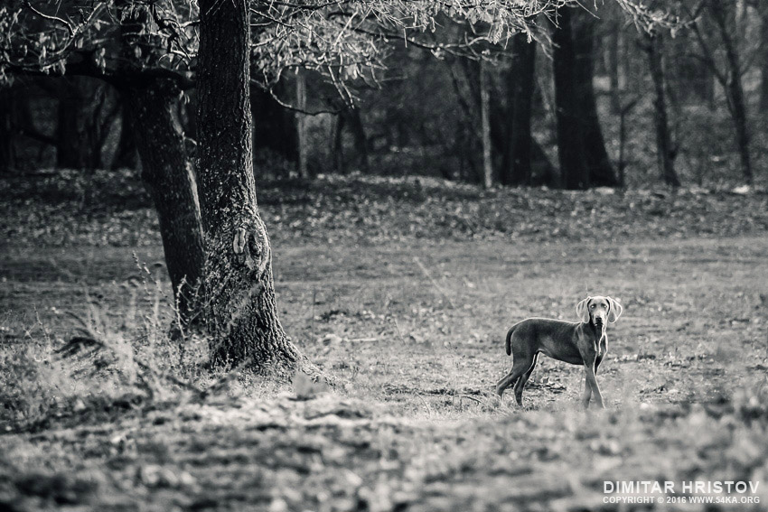 Purebred Weimaraner dog and dry tree on a summer day photography black and white animals  Photo