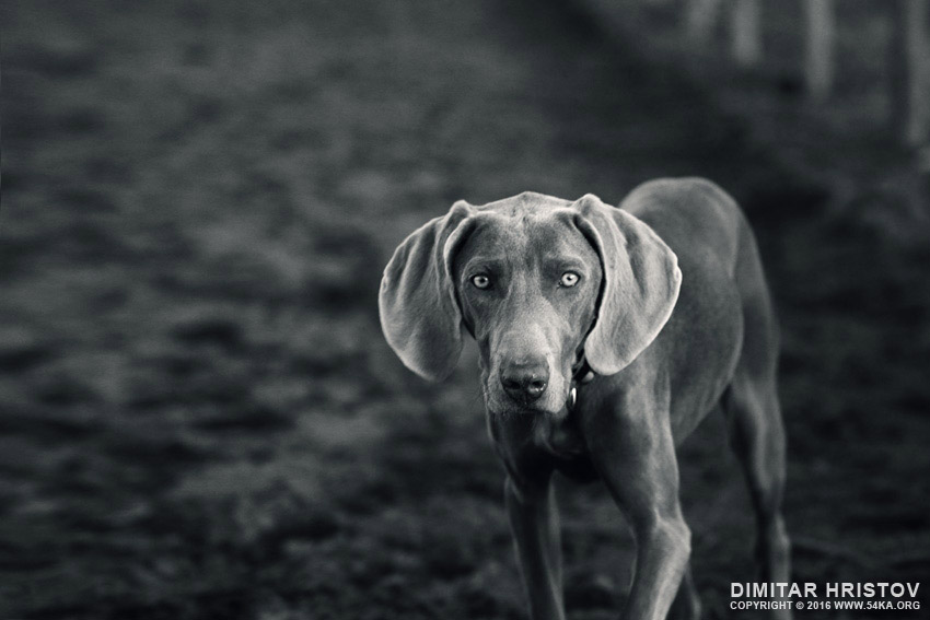 Weimaraner   Dog portrait photography top rated featured black and white animals  Photo