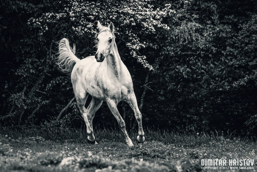 White arabian horse portrait on the green forest background photography equine photography animals  Photo