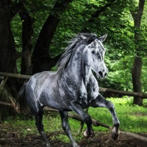 Gray horse running in the green forest