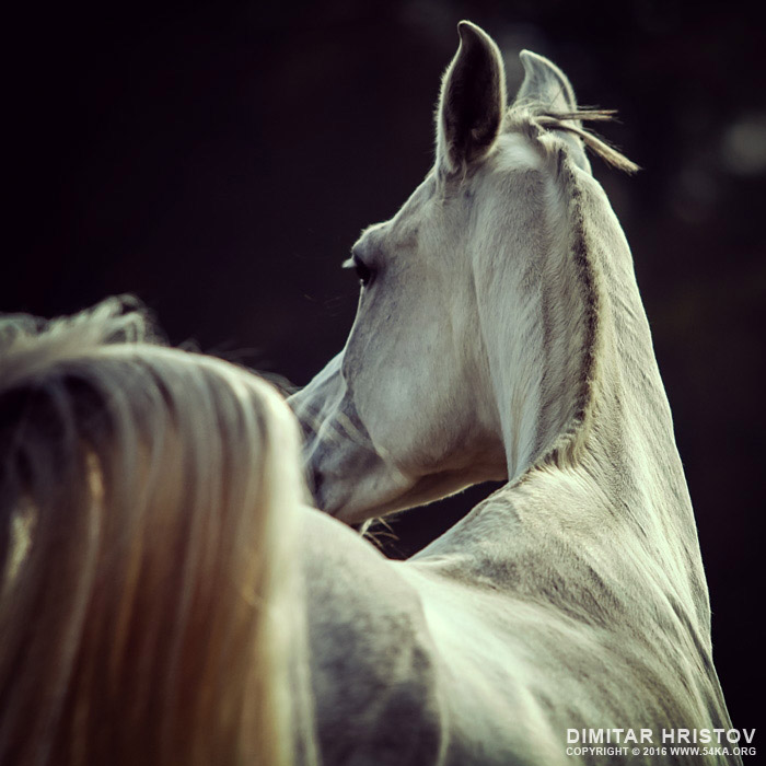 White horse looking behind photography featured equine photography animals  Photo