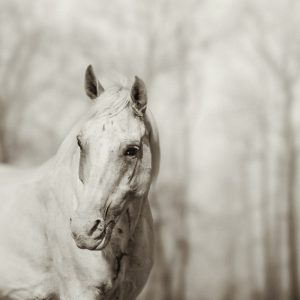 Lone white wild horse