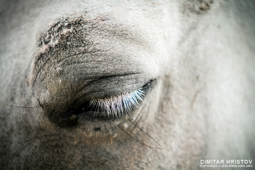 White horse eye with white cilia photography featured equine photography animals  Photo