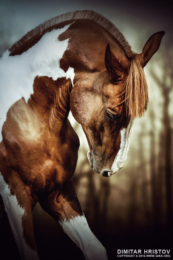 Portrait of paint horse stallion photography featured equine photography animals  Photo