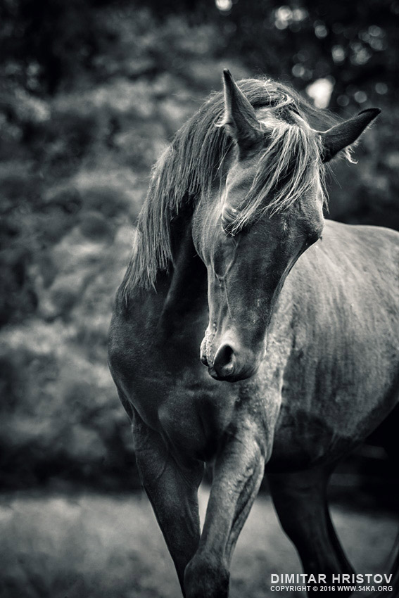 Black and white portrait of horse photography featured equine photography black and white animals  Photo