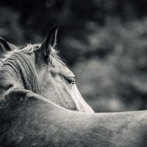 Close-up of a horse head – Horse monochrome portrait