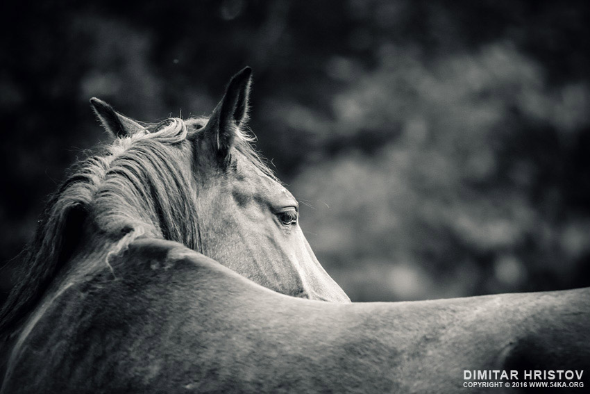 Close up of a horse head   Horse monochrome portrait photography top rated featured equine photography black and white animals  Photo